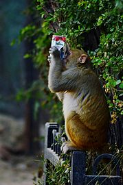 Monkey tropicana 2.jpg