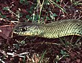 Montpellier Snake (Malpolon monspessulanus) male (Found by Jean Nicolas) (44490051611).jpg