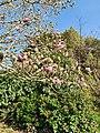 Morrab Gardens magnolia.jpg