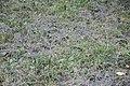 Moscow, recently mowed grass in Krylatskoye district (42052313350).jpg