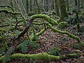 Mossy boughs near the Bovey - geograph.org.uk - 1084921.jpg