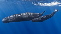 Mother and baby sperm whale.jpg