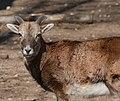 Mouflon Ii (207965053).jpeg
