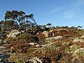 Mount Wellington, Tasmania - high moor peat vegetation.jpg