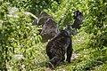 Mountain gorilla (Gorilla beringei beringei) 12.jpg