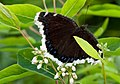 Mourning Cloak on Indian Hemp (6802974523).jpg