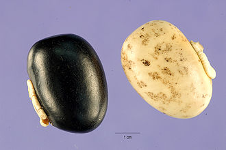 Mucuna pruriens - Mucuna pruriens seeds of two different colors