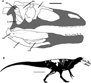 Megaraptora - Diagram showing the skull and skeleton of Murusraptor