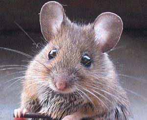 English: Wood mouse (Apodemus sylvaticus) – wr...