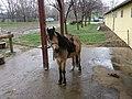 Mustang Lovasclub, Dunaharaszti, Paradicsomsziget, Póni - panoramio.jpg