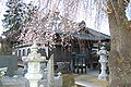 Myokenji-sakura.JPG