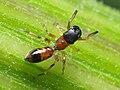 Myrmarachne formicaria 92865833.jpg