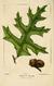NAS-022 Quercus laevis.png