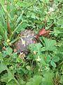 NT baby turtle (14665982611).jpg