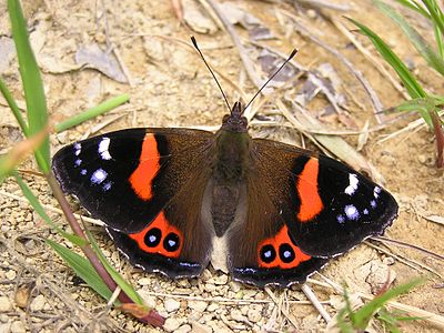 NZ Red Admiral butterfly