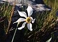 Narcissus poeticus subsp. radiiflorus (5599451157).jpg