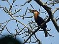 Narcondam Hornbill DSCN2147 09.jpg