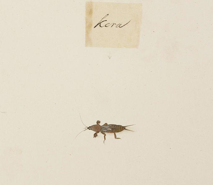 File:Naturalis Biodiversity Center - RMNH.ART.609 - Gryllotalpidae - Kawahara Keiga - 1823 - 1829 - Siebold Collection - pencil drawing - water colour.jpeg