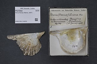 Pteria (bivalve) - Pteria fibrosa (Reeve, 1857), museum specimens Naturalis