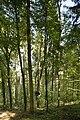 Naturdenkmal Rotbuche, genannt Kropfbüchle, Kennung 81150100017, Deckenpfronn 01.jpg