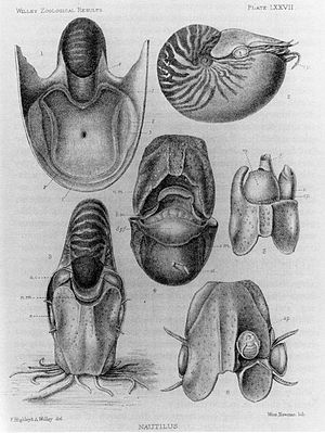 Nautilus macromphalus - Image: Nautilus macromphalus anatomy