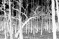 Negative-forest.jpg