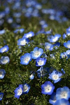 nemophila-menziesii-baby-blue-eyes