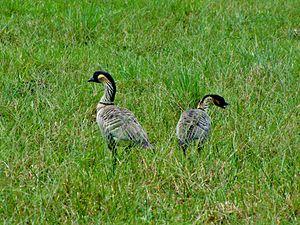 Nene (bird) - Image: Nene Kauai Princeville Ranch