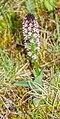 Neotinea ustulata in Aveyron (5).jpg