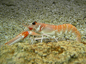 Fishing industry in Scotland - Nephrops norvegicus