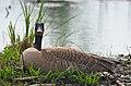Nesting Canada Goose (40664717490).jpg