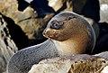 New Zealand Fur Seal. (49454121717).jpg