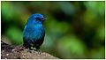 Nilgiri Flycatcher by Dharani Prakash.jpg