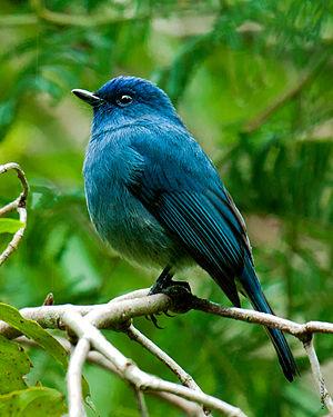 Nilgiri flycatcher - Image: Nilgiri Flycatcher by N.A. Naseer