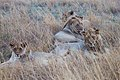 Nkomazi Game Reserve, South Africa (22031567673).jpg