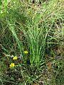 Nolina atopocarpa fh 0523.30 FL. Perfekte Tarnung in hohem Gras B.jpg