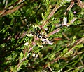 Nomada rufipes. Black-horned Nomad Bee (36340671026).jpg