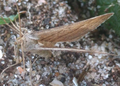 Noordwijk - Lepidoptera.png
