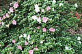 North Tisbury Azalea (Rhododendron) Yuka (3574403101).jpg