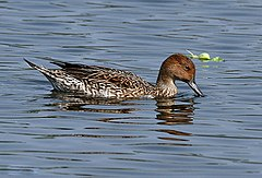 Northern Pintail (Female)- Feeding I IMG 0910.jpg