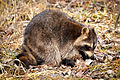 Northern Raccoon (Procyon lotor) (16570198948).jpg