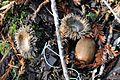 Notholithocarpus densiflorus acorn and acorn cups.jpg