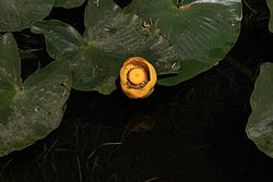 Nuphar polysepala in Yellowstone National Park.JPG