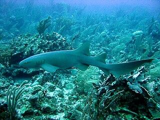 Cayman Islands Shark Diving
