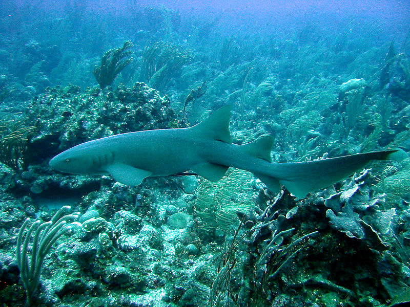File:Nurse Shark 4472.jpg