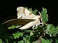 Oak Hawk-moth (Marumba quercus) (8332989246).jpg