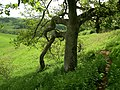 Oak tree Ham Hill country park - geograph.org.uk - 414178.jpg