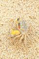 Ocypode cordimanus - Fraser Island.jpg