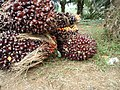 Oilpalm Fruit.JPG
