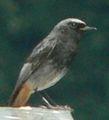 Oiseau-zarb-3.jpg